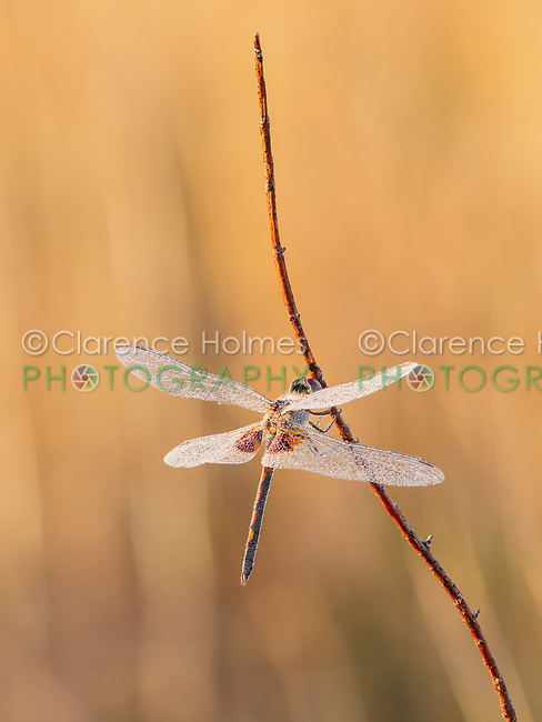 A dew covered male Ornate Pennant (Celithemis ornata) perches on its overnight roost on a plant stem early in the morning.