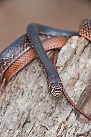 414130002 a wild juvenile eastern coachwhip masticophis flagellum coils on a fallen tree near boykin springs jasper county texas united states