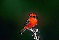 530180023  a wild male vermilion flycatcher pyrocephalus rubinus perches on a thornbush branch in tamaulipas state mexico