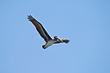 Brown Pelican flying over the Rogue River at Gold Beach, Oregon Coast.