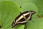 La Guacima de Alajuela, Costa Rica; a Thoas Swallowtail (Papilio thoas) butterfly sits wings spread on a leaf , Copyright © Matthew Meier, matthewmeierphoto.com All Rights Reserved