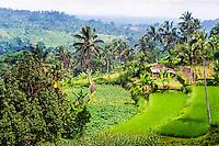 Bali, Tabanan, Bedugul. Rice fields not far from Bedugul.