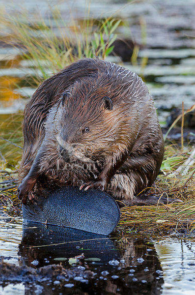 North American Beaver (Castor canadensis) grooming while sitting on edge of pond.  Northern Rockies,  Fall.  A major part of grooming is rubbing oil from their anal gland over their fur helping to waterproof and insulate themselves from the cold water.