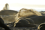 Northern elephant seals flipping sand at Ano Nuevo State Reserve, CA