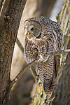 A Great Gray Owl -- also known as the &quot;Phantom of the North&quot; and the &quot;Great Gray Ghost&quot;