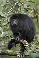 .Guatemalan or Black Howler Monkey (Alouatta pigra), adult in tree, Belize