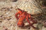 Triton Bay, West Papua, Indonesia; a White-spotted Hermit Crab (Dardanus megistos) walking across the sandy bottom