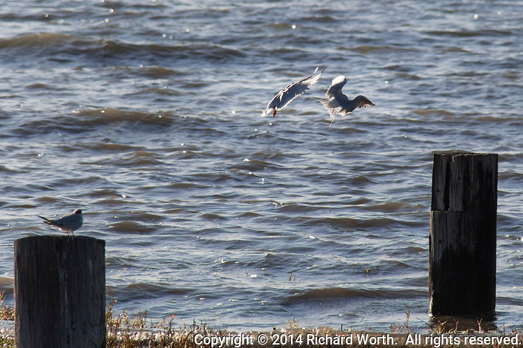 From a safe perch on a nearby piling, a tern watches while two other terns do aerial battle, competing for a perch on a piling in San Francisco Bay.