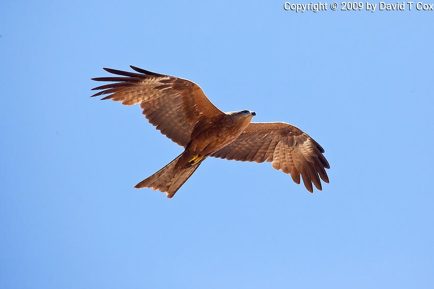 Black Kite, Lee Point, Darwin, NT, Australia