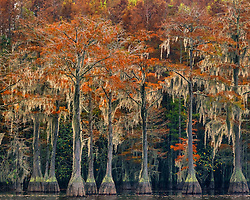 Backlighting from the late morning sun illluminates the moss overhanging old cypress trees at their peak of fall color.