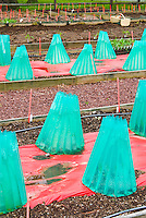 Walls of Water protection of new young seedlings cloche cold frame protecting plants, rows, plastic, extending the vegetable season from frost