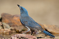 551130015 a wild  mexican jay alphelocoma wollweberi pauses for a drink while perched on a rock in madera canyon green valley arizona united states