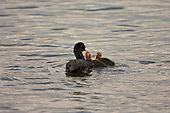 Common Coots, (Fulica atra) Coot feeding young chicks born in spring with soft afternoon light reflecting of the water and unseen clouds. Coots are aggressive and have been know to kill their own young if feeding to many chicks, starting with the youngest.
