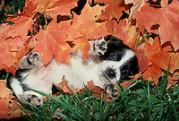 Spotted puppy lying pink belly up among a pile of orange fall maple leaves in the grass