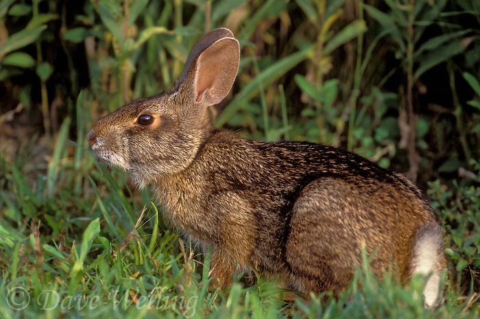 673398041 wild juvenile swamp rabbit sylvilagus aquaticus sitting in tall grasses sabine national wildlife refuge louisiana