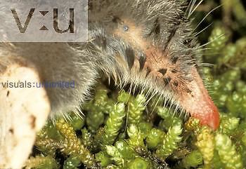 Close-up of the nose and eye of the Hairy-tailed Mole ,Parascalops breweri,, North America.