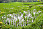 Ubud, Bali, Indonesia; terraced rice fields within the city on an overcast day