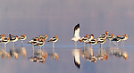 American Avocet, Owens Lake, California