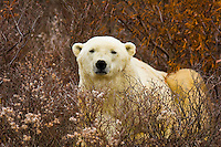 A male polar bear in vegetation on the tundra along the edge of Hudson Bay, near Churchill, Manitoba, Canada