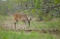 Trophy whitetail buck working scrape in Texas