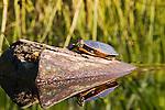 A turtle suns itself on a log