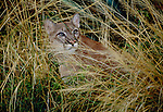 Cougar, Arizona