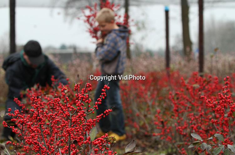 Foto: VidiPhoto..WEKEROM - Kweker Wim Bouw uit Wekerom krijgt hulp van zijn zoon bij de oogst van de beshulst Ilex Verticillata. De struik met rode besjes is vooral in deze periode razend populair. Het is een van de weinig producten met kleur die op dit moment buiten geoogst worden. Een belangrijk deel van de beshulst van Bouw gaat via bloemveiling Plantion in Ede voor export naar Duitsland. .