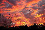 A Fire Red Sunset Reflecting off the clouds in Charleston South Carolina bird flying