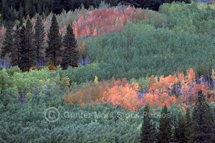 Cariboo Chilcotin Coast Region, BC, British Columbia, Canada - Mixed Forest of Deciduous and Coniferous Trees, Autumn / Fall