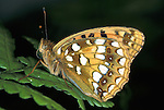 Dark Green Fritillary, Argynnis aglaga, Butterfly, adult, wings up showing underside, pearly spots.United Kingdom....