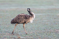 Farmed Emu, Bredasdorp, Western Cape, South Africa