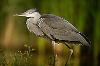 Portrait of a Grey Heron (Ardea cinerea), Hortobagy National Park, Hungary