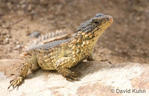0521-1007  Sungazer Sunning Itself Outside Burrow (Giant Girdled Lizard or Giant Zonure), Cordylus giganteus  © David Kuhn/Dwight Kuhn Photography