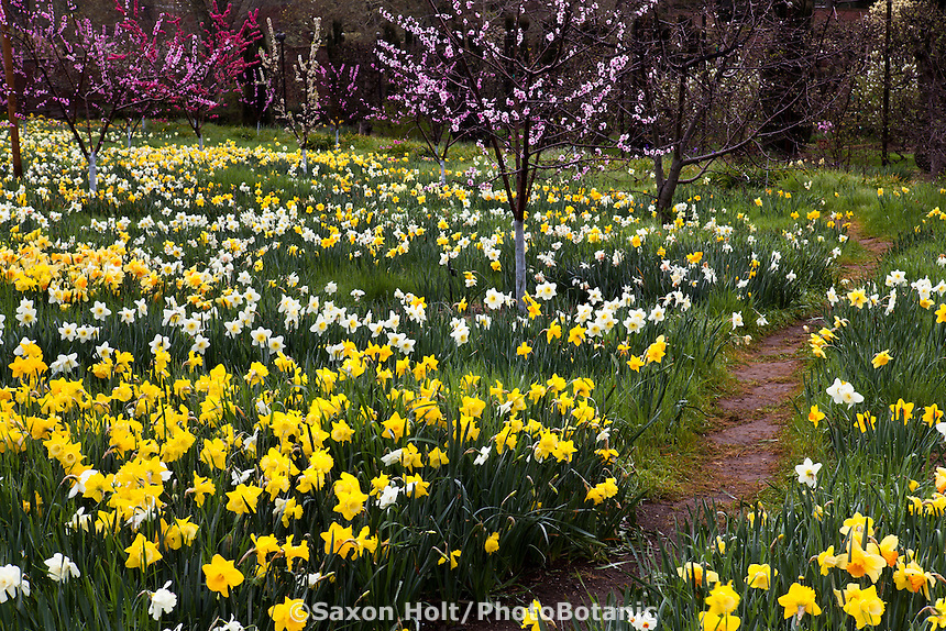 Gardeners path through spring flowering fruit trees in the Daffodil Meadow at Filoli Garden