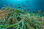 Posidonia (Posidonia oceanica)