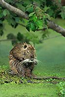 665955036 a wild nutria myocastor coypus an introduced species sits on a duckweed covered log in a protected nature conservancy property in louisiana - species is native to the southern half of south america