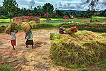 Women carry bundles of freshly harvested rice in the central highlands of Madagascar, near the village of Sandrandahy. Rice is the principal food staple income source in the region. Traditional silk weaving is gaining economic importance thanks to access to new, global markets.