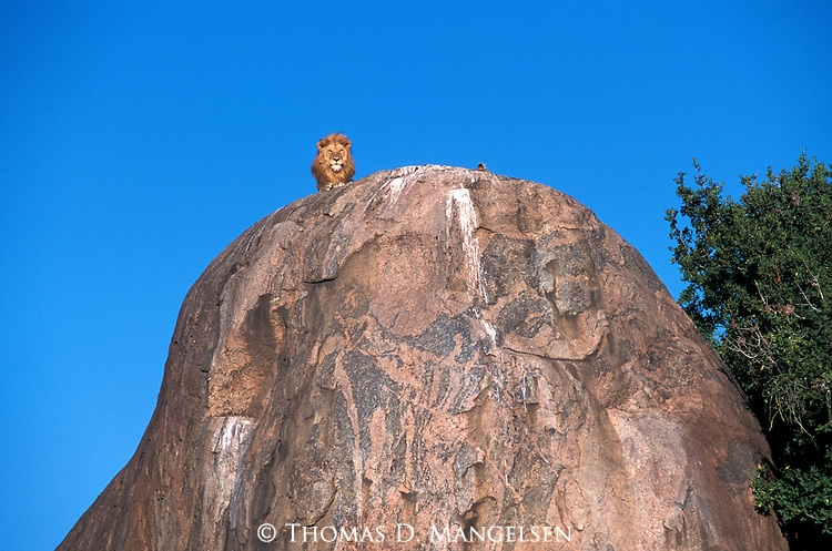 Lion (Panthera leo) perched on top of a rock in Serengeti National Park, Tanzania