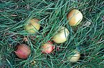 Windfall apples at  June and Robin Small's company, Charlton Orchards, Taunton, Somerset. Their company was chewed up and spat out by the superstores, but they didn't give up. They found a way of surviving, by selling direct to local people. They've become evangelists for community orchards and local marketing.