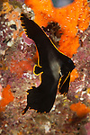 Dusky / Long-finned / Pinnate spadefish (Platax pinnatus)