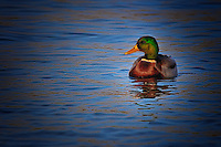 A male mallard duck swims along in the late afternoon sun.