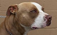A male brown bicolor terrier / American Pit Bull. N053