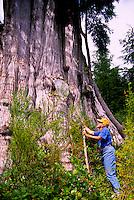 Cape Scott Provincial Park, Northern Vancouver Island, BC, British Columbia, Canada - Hiker at Base of Giant Cedar (Thuja plicata) Tree (Model Released)