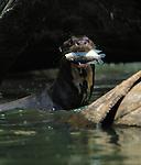 Giant Otter, Pteronura brasiliensis, Reserva del Manu, Peru