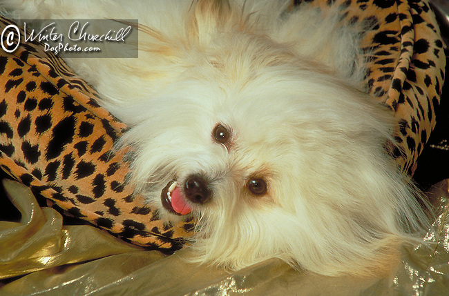 Coton deTulear<br /> <br /> <br /> Shopping cart has 3 Tabs:<br /> <br /> 1) Rights-Managed downloads for Commercial Use<br /> <br /> 2) Print sizes from wallet to 20x30<br /> <br /> 3) Merchandise items like T-shirts and refrigerator magnets Shopping cart has 3 Tabs: