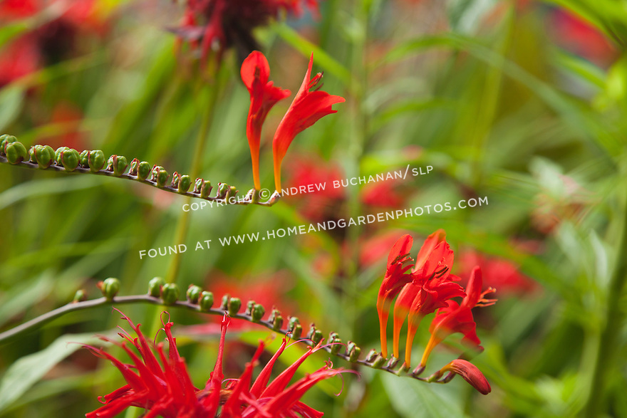 gracefully arching stems of red crocosmia