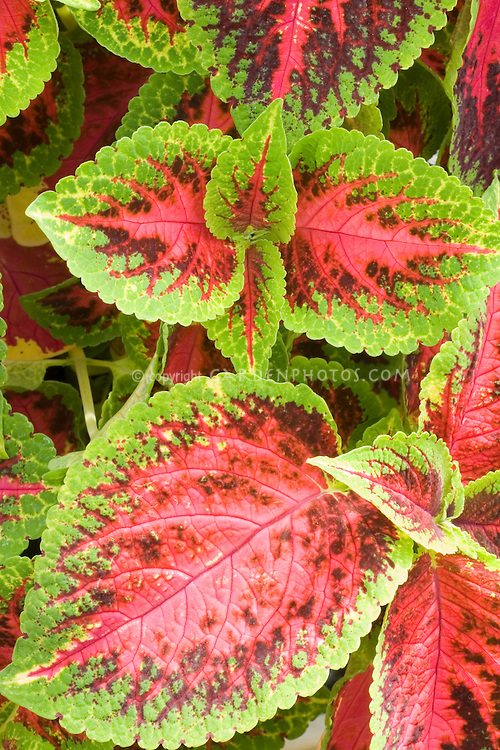 Coleus 'Watermelon' Solenostemon green and red annual foliage plant