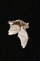 Evening Bat, Nycticeius humeralis, adult in flight leaving Day roost in tree hole,Willacy County, Rio Grande Valley, Texas, USA