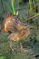 579470007 Clapper Rail Railus longirostrus WILD.South Padre Island, Texas