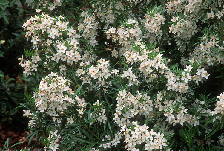 Japanese white flowering shrub fragrant pictures to pin on pinterest pinsdaddy - Blooming shrubs ...